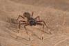 http://mczbase.mcz.harvard.edu/specimen_images/invertebrates/large/144027_Aphantochilus_5.jpg