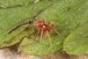 http://mczbase.mcz.harvard.edu/specimen_images/invertebrates/large/144029_Oonopidae_1.jpg