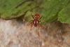 http://mczbase.mcz.harvard.edu/specimen_images/invertebrates/large/144029_Oonopidae_2.jpg