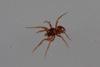 http://mczbase.mcz.harvard.edu/specimen_images/invertebrates/large/144029_Oonopidae_3.jpg