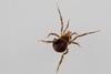 http://mczbase.mcz.harvard.edu/specimen_images/invertebrates/large/144057_Maracaynatum_trinidadense_4.jpg