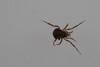 http://mczbase.mcz.harvard.edu/specimen_images/invertebrates/large/144057_Maracaynatum_trinidadense_6.jpg