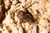 http://mczbase.mcz.harvard.edu/specimen_images/invertebrates/large/144061_Stygnomma_2.jpg
