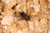 http://mczbase.mcz.harvard.edu/specimen_images/invertebrates/large/144061_Stygnomma_8.jpg
