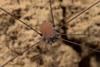 http://mczbase.mcz.harvard.edu/specimen_images/invertebrates/large/144064_Prionostemma_3.jpg