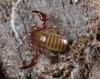 http://mczbase.mcz.harvard.edu/specimen_images/invertebrates/large/144065_Paratemnoides_nidifactor_3.jpg