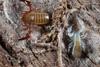 http://mczbase.mcz.harvard.edu/specimen_images/invertebrates/large/144065_Paratemnoides_nidifactor_8.jpg