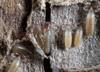 http://mczbase.mcz.harvard.edu/specimen_images/invertebrates/large/144065_Paratemnoides_nidifactor_9.jpg
