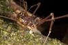 http://mczbase.mcz.harvard.edu/specimen_images/invertebrates/large/144078_Santinezia_serratotibialis_4.jpg