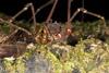 http://mczbase.mcz.harvard.edu/specimen_images/invertebrates/large/144078_Santinezia_serratotibialis_5.jpg