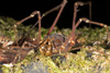 http://mczbase.mcz.harvard.edu/specimen_images/invertebrates/large/144078_Santinezia_serratotibialis_6.jpg
