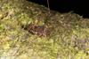 http://mczbase.mcz.harvard.edu/specimen_images/invertebrates/large/144079_Phareicranaus_calcariferus_1.jpg