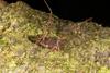 http://mczbase.mcz.harvard.edu/specimen_images/invertebrates/large/144079_Phareicranaus_calcariferus_2.jpg
