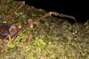 http://mczbase.mcz.harvard.edu/specimen_images/invertebrates/large/144079_Phareicranaus_calcariferus_3.jpg