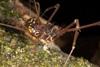http://mczbase.mcz.harvard.edu/specimen_images/invertebrates/large/144079_Phareicranaus_calcariferus_4.jpg