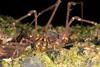 http://mczbase.mcz.harvard.edu/specimen_images/invertebrates/large/144079_Phareicranaus_calcariferus_6.jpg