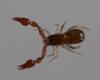 http://mczbase.mcz.harvard.edu/specimen_images/invertebrates/large/144080_Ideobisium_crassimanum_6.jpg