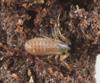 http://mczbase.mcz.harvard.edu/specimen_images/invertebrates/large/144082_Symphytognathidae_3.jpg