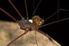 http://mczbase.mcz.harvard.edu/specimen_images/invertebrates/large/144088_Avima_7.jpg