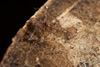 http://mczbase.mcz.harvard.edu/specimen_images/invertebrates/large/144089_Grassatores_15.jpg