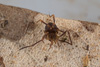 http://mczbase.mcz.harvard.edu/specimen_images/invertebrates/large/144089_Grassatores_5.jpg