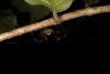 http://mczbase.mcz.harvard.edu/specimen_images/invertebrates/large/144113_Stygnoplus_clavotibialis_16.jpg