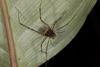 http://mczbase.mcz.harvard.edu/specimen_images/invertebrates/large/144113_Stygnoplus_clavotibialis_4.jpg