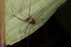 http://mczbase.mcz.harvard.edu/specimen_images/invertebrates/large/144113_Stygnoplus_clavotibialis_5.jpg