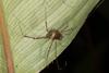 http://mczbase.mcz.harvard.edu/specimen_images/invertebrates/large/144113_Stygnoplus_clavotibialis_6.jpg