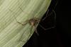 http://mczbase.mcz.harvard.edu/specimen_images/invertebrates/large/144113_Stygnoplus_clavotibialis_7.jpg
