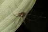 http://mczbase.mcz.harvard.edu/specimen_images/invertebrates/large/144113_Stygnoplus_clavotibialis_8.jpg