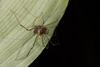 http://mczbase.mcz.harvard.edu/specimen_images/invertebrates/large/144113_Stygnoplus_clavotibialis_9.jpg