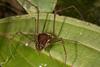 http://mczbase.mcz.harvard.edu/specimen_images/invertebrates/large/144115_Phareicranaus_calcariferus_2.jpg
