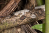 http://mczbase.mcz.harvard.edu/specimen_images/invertebrates/large/144116_Prionostemma_4.jpg