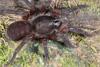 http://mczbase.mcz.harvard.edu/specimen_images/invertebrates/large/144117_Mygalomorphae_1.jpg