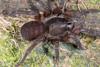 http://mczbase.mcz.harvard.edu/specimen_images/invertebrates/large/144117_Mygalomorphae_2.jpg