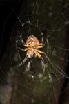 http://mczbase.mcz.harvard.edu/specimen_images/invertebrates/large/144119_Eriophora_1.jpg
