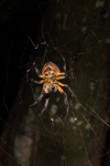 http://mczbase.mcz.harvard.edu/specimen_images/invertebrates/large/144119_Eriophora_2.jpg