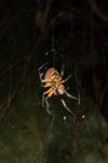 http://mczbase.mcz.harvard.edu/specimen_images/invertebrates/large/144119_Eriophora_3.jpg