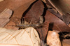 http://mczbase.mcz.harvard.edu/specimen_images/invertebrates/large/144127_Sphendononema_guildingii_2.jpg