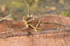 http://mczbase.mcz.harvard.edu/specimen_images/invertebrates/large/144138_Cynortula_granulata_8.jpg