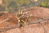 http://mczbase.mcz.harvard.edu/specimen_images/invertebrates/large/144138_Cynortula_granulata_9.jpg
