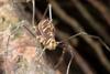 http://mczbase.mcz.harvard.edu/specimen_images/invertebrates/large/144140_Rhopalocranaus_albilineatus_3.jpg