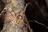 http://mczbase.mcz.harvard.edu/specimen_images/invertebrates/large/144140_Rhopalocranaus_albilineatus_5.jpg