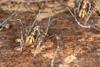 http://mczbase.mcz.harvard.edu/specimen_images/invertebrates/large/144141_Rhopalocranaus_albilineatus_1.jpg