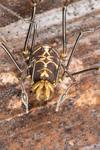 http://mczbase.mcz.harvard.edu/specimen_images/invertebrates/large/144141_Rhopalocranaus_albilineatus_10.jpg