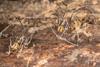 http://mczbase.mcz.harvard.edu/specimen_images/invertebrates/large/144141_Rhopalocranaus_albilineatus_2.jpg