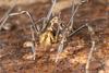 http://mczbase.mcz.harvard.edu/specimen_images/invertebrates/large/144141_Rhopalocranaus_albilineatus_4.jpg