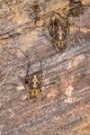 http://mczbase.mcz.harvard.edu/specimen_images/invertebrates/large/144141_Rhopalocranaus_albilineatus_6.jpg