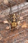 http://mczbase.mcz.harvard.edu/specimen_images/invertebrates/large/144141_Rhopalocranaus_albilineatus_8.jpg